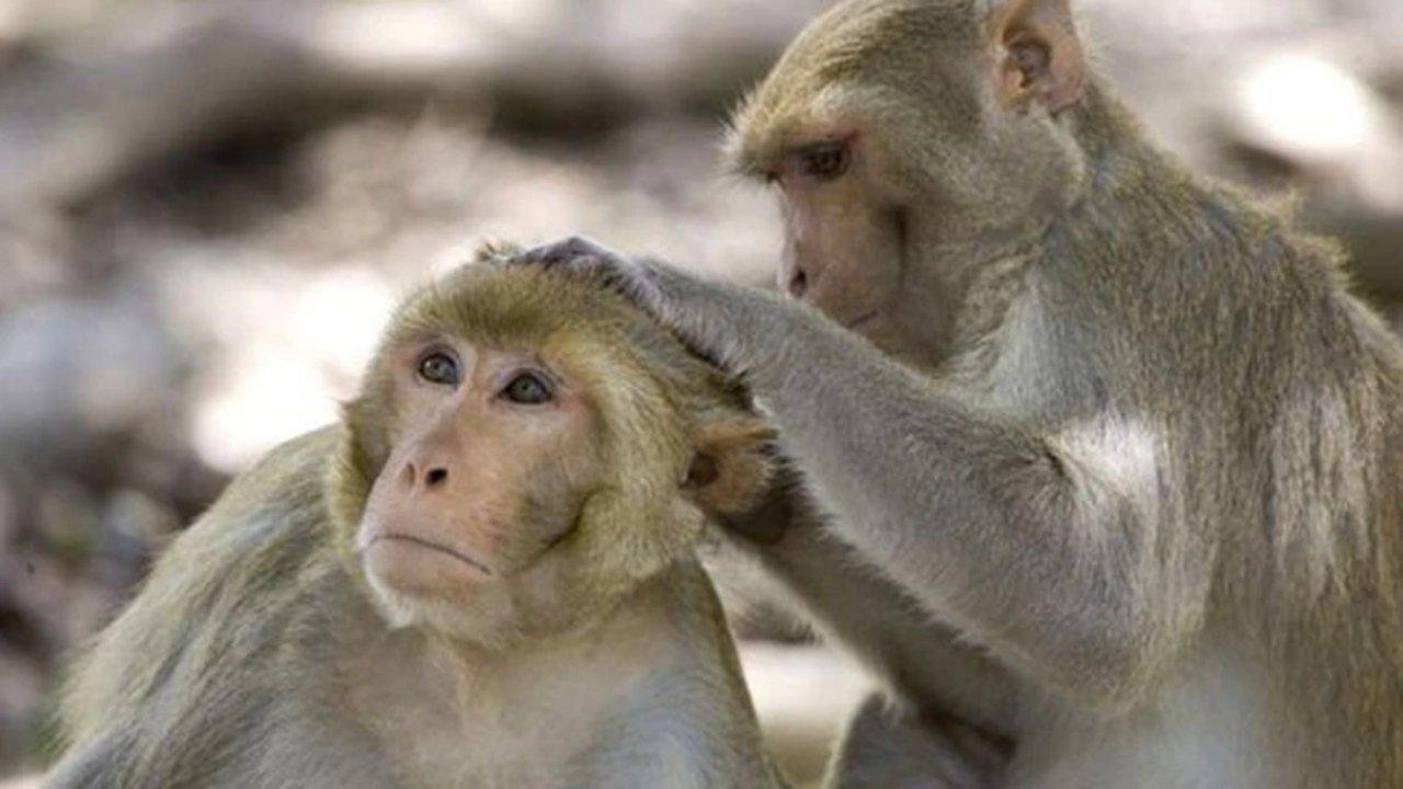 El macaco rhesus, una especie de primate catarrino de la familia Cercopithecidae. Foto: AP